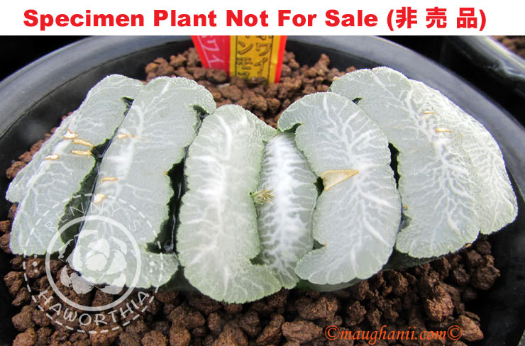 TM No.42 truncata 'White Mammoth', 10 seeds, fresh seed 2020