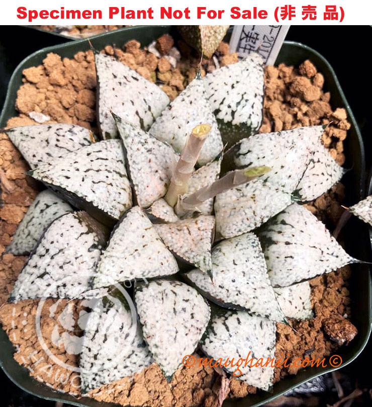 Haworthia cv /'Heart-in-Flame/',10 fresh seed 2020 Set No.E33