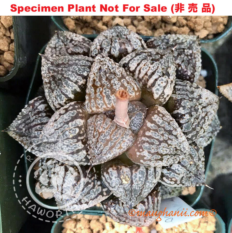 fresh seed 2020 Set No.15 Haworthia picta /'Brownie/'10 seeds