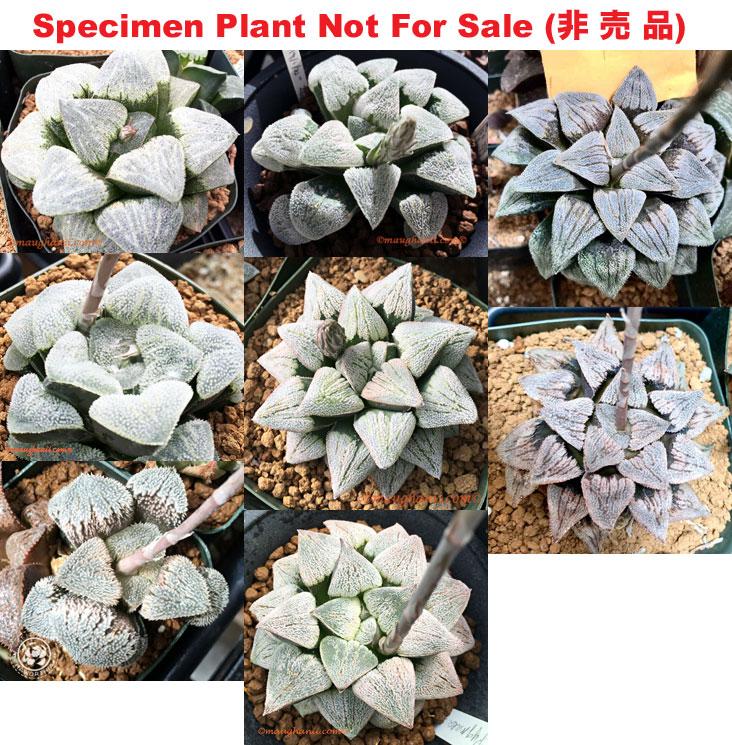 Haworthia picta /'Cowboy/' P02 Set No.79 10 fresh seed 2020 XL grower